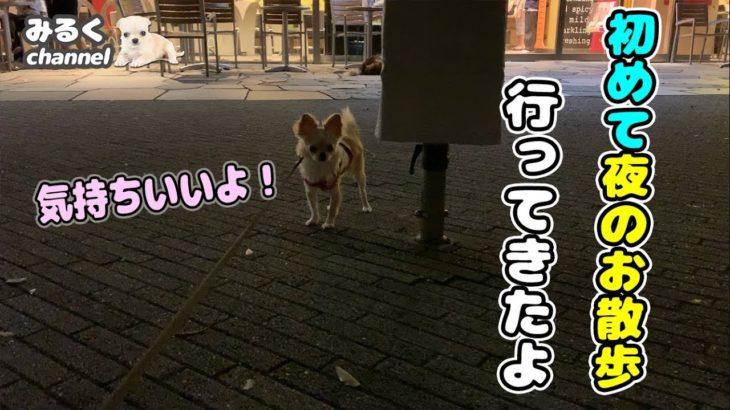 🔴初めて夜のお散歩行ってきたよ!【dog】【puppy】【Chihuahua】【ペット動画】