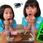 虫注意!ついにダンゴムシが出産☆しかも衝撃映像が映っていました><himawari-CH
