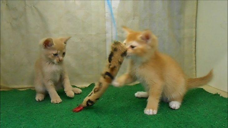 子猫販売京都 ウノペットサービス
