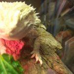 爬虫類ペットが、ワイルドに小松菜を食べる!