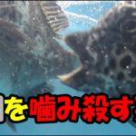 衝撃映像イシガキダイ(石垣鯛、)がクロダイ(黒鯛、)チヌをかみ殺す