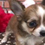 ペットショップ 犬の家 稲毛店 「チワワ」「103881」