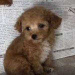 ペットショップ 犬の家 加古川店「ティーカッププードル」「104002」