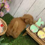 ペットショップ 犬の家 店 倉敷 「トイ・プードル」「104078」
