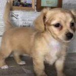 ペットショップ 犬の家 加古川店「ハーフ」「104274」