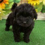 ペットショップ 犬の家 近江八幡店 「ティーカッププードル」「104284」
