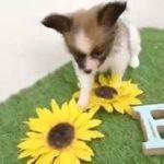 ペットショップ犬の家倉敷中庄店「パピヨン」「104298」