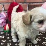 ペットショップ 犬の家 稲毛店 「ハーフ犬」「104359」