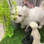 ペットショップ 犬の家 倉敷店 「マルチーズ」「104470」