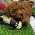 ペットショップ 犬の家 倉敷店 「タイニープードル」「104495」