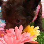 ペットショップ 犬の家 神戸店 「ハーフ犬(チワワ(ロング)×トイ・プードル)」「104504」