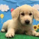 ペットショップ 犬の家 東海名和店 「ゴールデンレトリーバー」「104569」