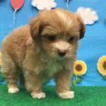 ペットショップ 犬の家 東海名和店 「チワプー」「104708」
