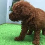 ペットショップ犬の家【刈谷店】【タイニー・プードル】【104712】
