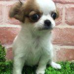 ペットショップ 犬の家 吹田店 「チワワ」「問い合わせ番号:104737」
