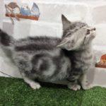 ペットショップ犬の家&猫の里カインズ梓川店「アメリカンショートヘア」「お問い合わせ番号104850」