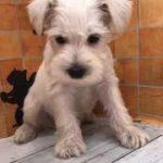 ペットショップ 犬の家 イオン上田店 「ミニチュアシュナウザー」「問い合わせ番号104892」