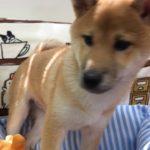 ペットショップCoo&RIKU NO.425475 柴犬