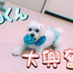 ボール遊びが大好き![兵庫ペット医療センター トリミング 尼崎 犬動画 ]Happy dog glooming