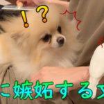 【ペット】保護犬に嫉妬する鳥 Jealous bird