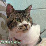 ペット同伴OKなカフェで寛ぐ猫リキちゃん☆おやつもモリモリ!お昼寝もするよ♪ねことお出かけ【リキちゃんねる 猫動画】Cat video キジトラ猫との暮らし