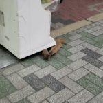 【衝撃映像】イタチがじゃれあってる?喧嘩してる?2匹で大阪ミナミのたこ焼き屋に侵入!