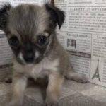 ペットショップ 犬の家 加古川店「チワワ」「105078」