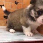 ペットショップ 犬の家 イオン上田店 「ペキコーギー」「問い合わせ番号:105163」