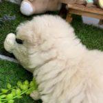 ペットショップ 犬の家 倉敷店 「ティーカッププードル」「105367」
