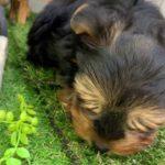 ペットショップ 犬の家 倉敷店 「ヨークシャー・テリア」「105373」