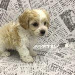 ペットショップ 犬の家 中津川店 「マルックス」「105462」
