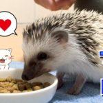 【ハリネズミのHARIBO】ペットフードを初めて食べた/I ate pet food for the first time[hedgehog HARIBO]