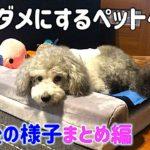 🐶犬をダメにするJoicyCoのペットベッド。その後の様子まとめ。【トイプードルのグリィ】【犬】【dog】【toy poodle】
