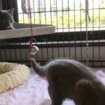 【茨城県のブリーダー ペットショップスズキ スコティッシュフォールド 子猫 販売 動画】