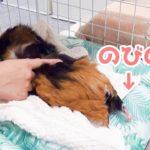 100均のペットソファ洗濯機で洗ってみた!モルモットは完全にのびちゃって… Guinea Pig Likes a Clean Towel.