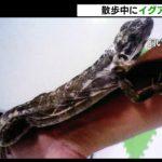 沼津市で体長45cmペットのイグアナが逃走中(静岡県)