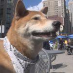 「どうぶつピース!!かわいい大図鑑」犬編(100)スターペット・NYタイムズに載った犬