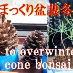 【ミニ盆栽】松ぼっくり盆栽、越冬の仕方ペットボトルで温室 How to overwinter pine cone bonsai