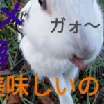 ③【ペットと散歩】ダメな癖が付いてしまってた(涙)   Mini rabbit with bad habits