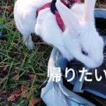 ②【ペットと散歩】昼だと眠いのか、寒いのか 微妙ぅ   Was the nocturnal bunny sleepy or cold in the daytime?
