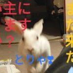 え〜!乗ったままくつろぐペットってつわ者かぁ?   Who is the mini rabbit who can relax while riding on me