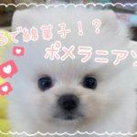 ペット新着情報【京都店】まるで綿菓子のようなわんちゃん!ポメラニアンちゃん♪【ひごペットフレンドリー】