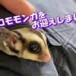【ペット】フクロモモンガをお迎えしました!【日常】